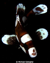 Juvenile sweetlip, Milne Bay, PNG by Michael Gallagher 